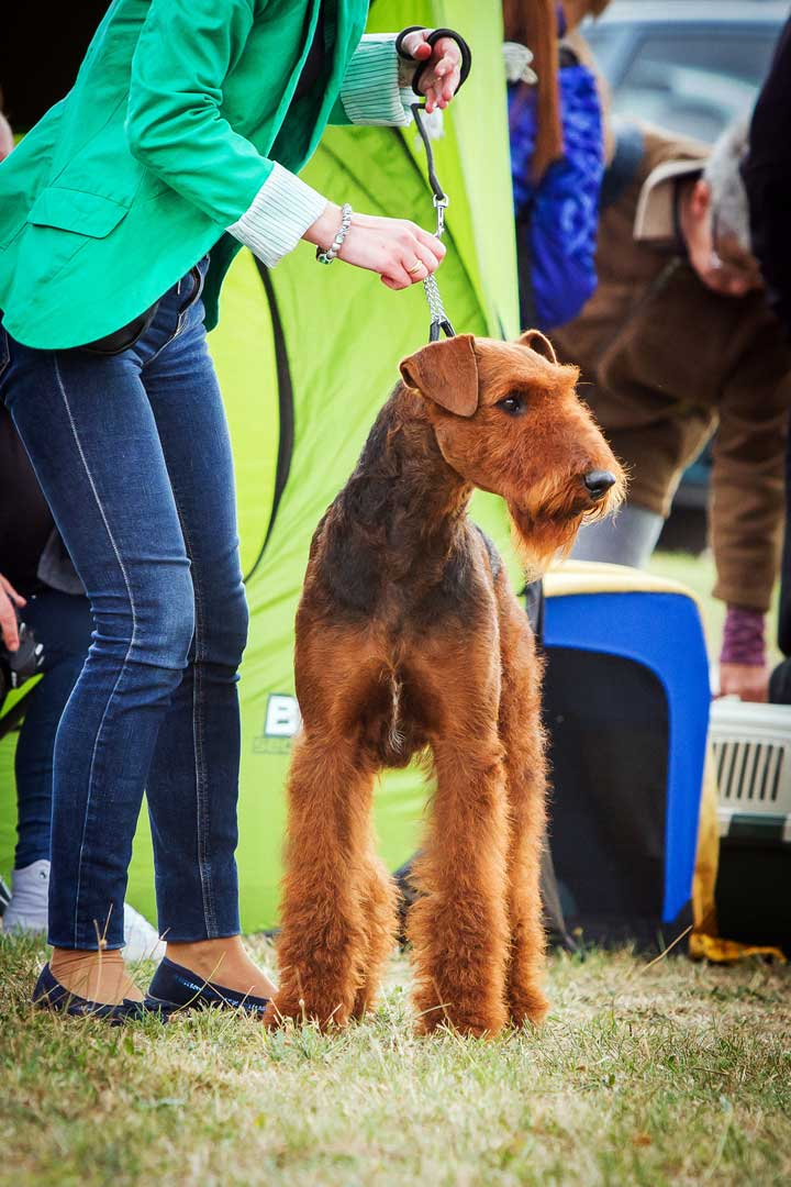 Airedale Terrier (front)